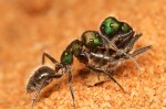 Nestmate carrying in Calomyrmex purpureus.